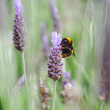 Bumblebee on Lavender flower — Stock Photo #14667787