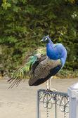 Peafowl — Stock Photo