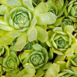 sempervivum — Stock Photo