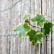 Ivy and wall — Stock Photo