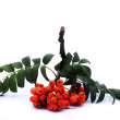 Bunch of rowan on an isolated background - Stock Photo