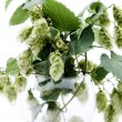 Stock Photo: Humulus on isolated background