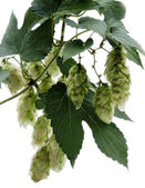 Humulus on an isolated background — Stock Photo