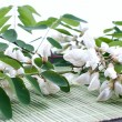 Acaciflowers with leafs on white — 图库照片 #28386639
