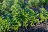 Carrot leaves — Stock Photo