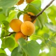 Ripe apricots grow — Stock Photo