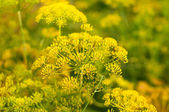 Detail of a dill kitchen herb. — Stock Photo