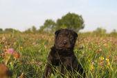 Adorable sharpei puppy lying — Stock Photo