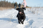 Black Labrador Retriever puppy — Stock Photo