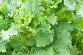 Close-up of  fresh cabbage — Stock Photo