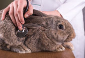 A female vet holding a rabbit — Stock Photo