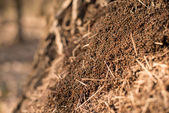 Anthill macro photo, big anthill close up, ants moving in the anthill, selective focus — Stock Photo