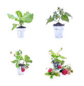 Young strawberry plant,collection — Stock Photo
