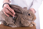A female vet holding a rabbit — Stock Photo