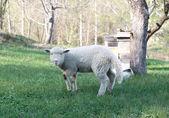 баранина, выпаса скота в сельских районах области — Стоковое фото