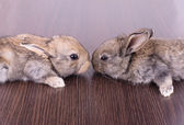 Tow cute golden rabbits sitting — Stock Photo