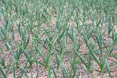 Winter garlic sprouts — Stockfoto