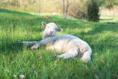 Small woolly lamb with tag in ear lying — Stock Photo