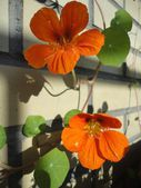Orange krasse blommor — Stockfoto