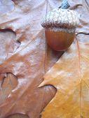 Acorn on leaf background — Stock Photo