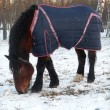Horse in the blanket winter  — Stock Photo