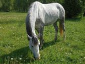 Gray horse on green grass — Stock Photo