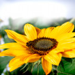 Postcard with beautiful sunflower — Foto Stock