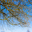 Spring time in park, tree branches with blue sky — Stock Photo #24967479