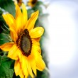 Postcard with beautiful sunflower — Stok fotoğraf