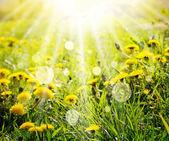 Dandelions ve güneş ışınları ile bahar arka plan — Stok fotoğraf