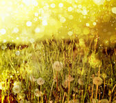 Spring field with dandelions on bright sunny day — Stock Photo
