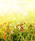 Ears in the field, ripening ears of wheat field on the background of the sun — Stock Photo