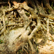 Tree roots — Stock Photo #24980091