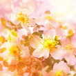 Stock Photo: Beautiful spring background with pink flowers