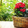 Red flowers in basket — Stock Photo