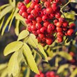 Red rowan berries — Stock Photo