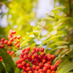 Red rowan berries — Stock Photo #35724483