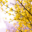 Blooming forsythia — Stock Photo #35724965