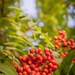 Red rowan berries — Stock Photo #35725001