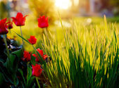 Red tulips in grass — Stock Photo