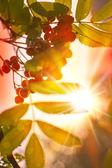 Rowan berry and sunlight — Stock Photo