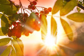 Rowan berry and sunlight — Stock Photo