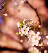 Flowers of cherry blossoms — Stock Photo