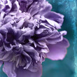 Stock Photo: Purple peony
