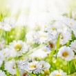 White daisy flowers background — Stock Photo