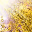 Blooming Forsythia — Stock Photo #35730609