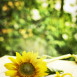 Sunflower with fallen petals — Stock Photo
