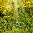 Dandelions and sunbeams — Stock Photo