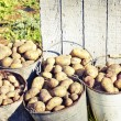 Harvested potatoes — Stock Photo #35732595
