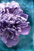 Purple peony — Stock Photo